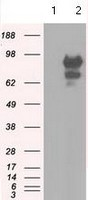 Western blot - Anti-SH3PX1 antibody [2F1] (ab118996)
