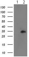 Western blot - Anti-CCNB1IP1 antibody [4H3] (ab118999)