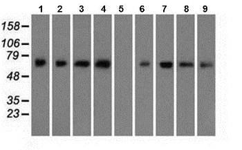 Western blot - Anti-BMAL1 antibody [3G9] (ab119009)