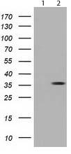 Western blot - Anti-NSE2 antibody [4A2] (ab119074)