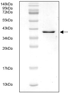 SDS-PAGE - Tissue Factor protein (His tag) (ab119148)