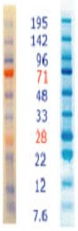 Western blot - Optiblot Prestained Marker (ab119210)