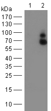 Western blot - Anti-GBP1 antibody [1B2] (ab119236)