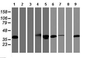 Western blot - Anti-PDLIM2 antibody [10C4] (ab119243)