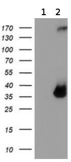 Western blot - Anti-TPSG1 antibody [1G1] (ab119268)