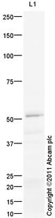 Western blot - Anti-Glucose Transporter GLUT6 antibody (ab119272)