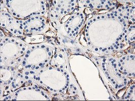 Immunohistochemistry (Formalin/PFA-fixed paraffin-embedded sections) - Anti-ENPEP [3E7] antibody (ab119306)