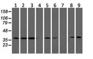 Western blot - Anti-LCMT1 antibody [2C9] (ab119320)