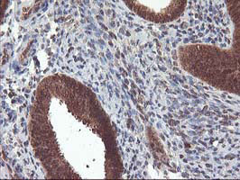 Immunohistochemistry (Formalin/PFA-fixed paraffin-embedded sections) - Anti-LCMT1 antibody [2C9] (ab119320)