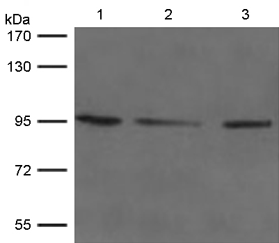Western blot - Anti-GPCR GPR49 antibody (ab119324)