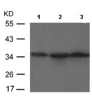 Western blot - Anti-Rex1 antibody (ab119325)