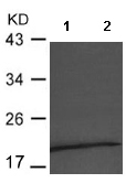 Western blot - Anti-CD3 epsilon antibody (ab119332)