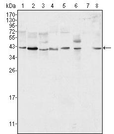 Western blot - Anti-ERK2 antibody [4C11] (ab119358)