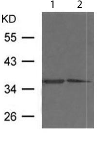 Western blot - Anti-Fibrillarin antibody (ab119396)