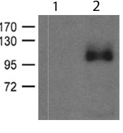 Western blot - Anti-Glutamate Receptor 1 (AMPA subtype) (phospho S836) antibody (ab119397)