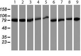 Western blot - Anti-Hsp75  antibody [1A1] (ab119398)