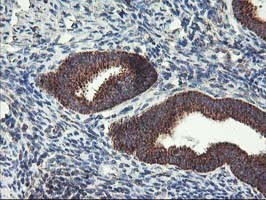 Immunohistochemistry (Formalin/PFA-fixed paraffin-embedded sections) - Anti-Hsp75  antibody [1A1] (ab119398)