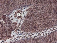 Immunohistochemistry (Formalin/PFA-fixed paraffin-embedded sections) - Anti-SETD7 antibody [2D10] (ab119400)