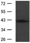 Western blot - Anti-SPARC antibody (ab119407)