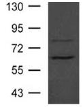 Western blot - Anti-ASH2L antibody (ab119414)