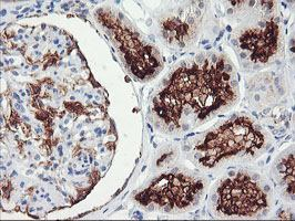 Immunohistochemistry (Formalin/PFA-fixed paraffin-embedded sections) - Anti-RGS16  antibody [4E5] (ab119424)