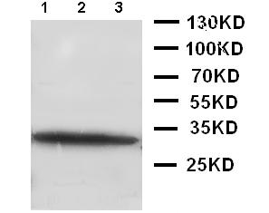 Western blot - Anti-GDNF antibody (ab119473)