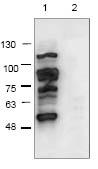 Western blot - Anti-DDDDK tag  antibody (ab119478)