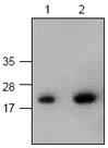 - Anti-IL19 antibody (ab119479)