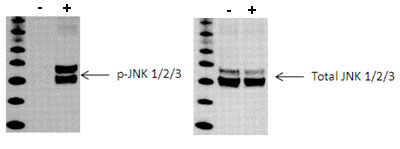 Western blot - PhosphoTracer JNK 1/2/3 Total ELISA Kit  (ab119635)