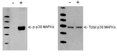 Western blot - PhosphoTracer p38 MAPKalpha (pT180/Y182) ELISA Kit  (ab119638)