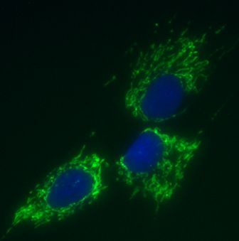 Immunocytochemistry/ Immunofluorescence - Anti-mtTFA antibody [18G102B2E11] (ab119684)