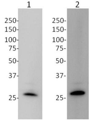 Western blot - Anti-mtTFA antibody [18G102B2E11] (ab119684)