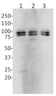Western blot - Anti-OPA1 antibody [1E81D9] (ab119685)