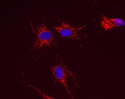 Immunocytochemistry/ Immunofluorescence - Anti-ATPG antibody [2A1AA11] (ab119686)
