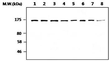 Western blot - Anti-Rad50 antibody [20B5] (ab119708)