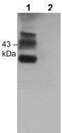 Western blot - Anti-CREB (phospho S271) antibody (ab119711)