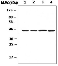 Western blot - Anti-beta Actin antibody (ab119716)