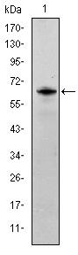 Western blot - Anti-Fyn antibody [2A10] (ab119855)