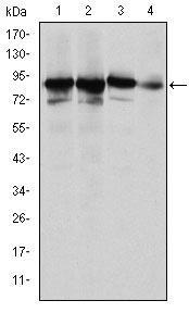 Western blot - Anti-Ku80 antibody [5C5] (ab119935)