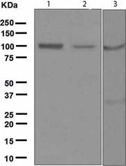 Western blot - Anti-Ionotropic Glutamate receptor 4 antibody [EPR2511(2)] (ab119995)