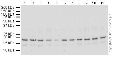 Western blot - Histone H3 (tri methyl K4) antibody [mAbcam 12209] - ChIP Grade (ab12209)