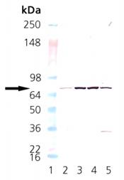 Western blot - NSF antibody [9G7-3] (ab12368)