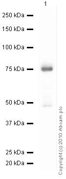 Western blot - HDPTP antibody (ab12553)