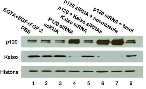 Western blot - Anti-Kaiso antibody [6F / 6F8] - ChIP Grade (ab12723)
