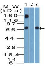 Western blot - Anti-GBP1 antibody (ab121039)
