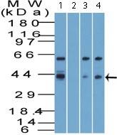 Western blot - Anti-Viperin antibody (ab121042)
