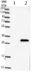 Western blot - Anti-C14orf151 antibody (ab121114)