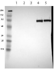 Western blot - Anti-C4BPA antibody (ab121123)