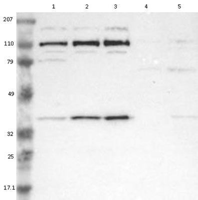 Western blot - Anti-RRP7A antibody (ab121142)