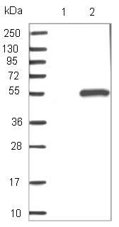 Western blot - Anti-C6orf211 antibody (ab121158)